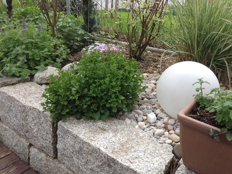 Die Polsterglockenblume wächst über die Granitmauer und weicht die harten Kanten optisch auf. (Poing bei München)